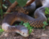 copperhead 1.jpg