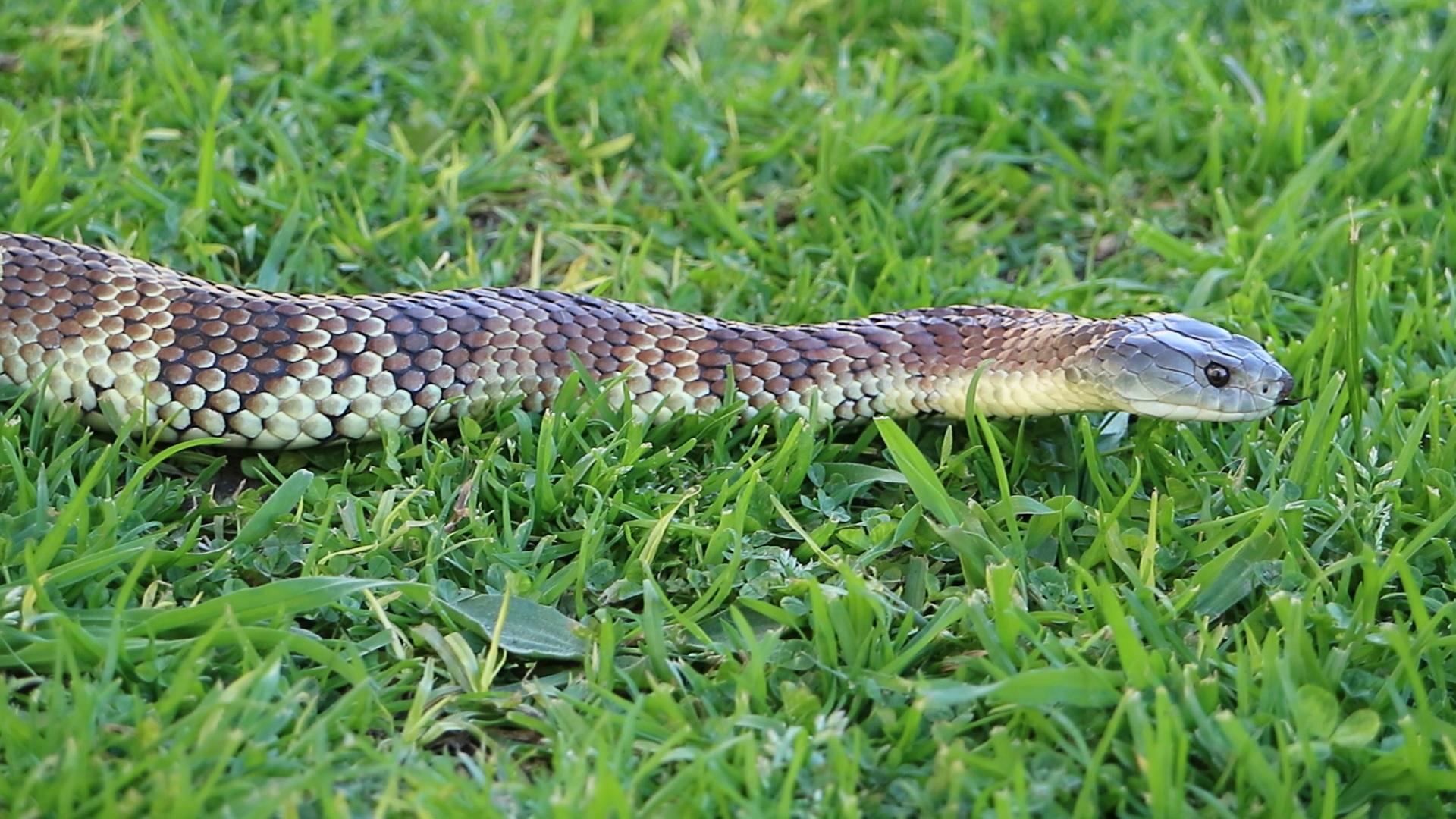 Eastern Tiger Snake on grass