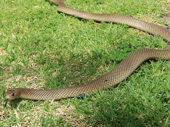 EASTERN BROWN SNAKE - 2ND MOST VENOMOUS SNAKE IN THE WORLD