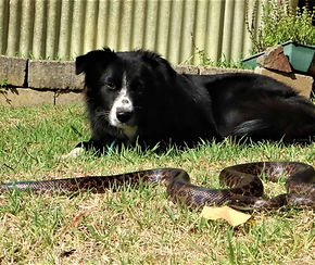 Snake catcher South Yarra