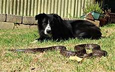 Snake Catcher Kinglake