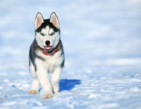 Husky Canine Snake Avoidance Training