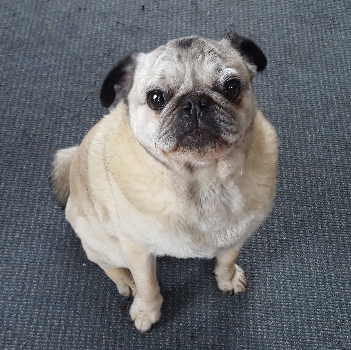 Note: NO E-Collar was used on this pug. This is for picture purposes only.