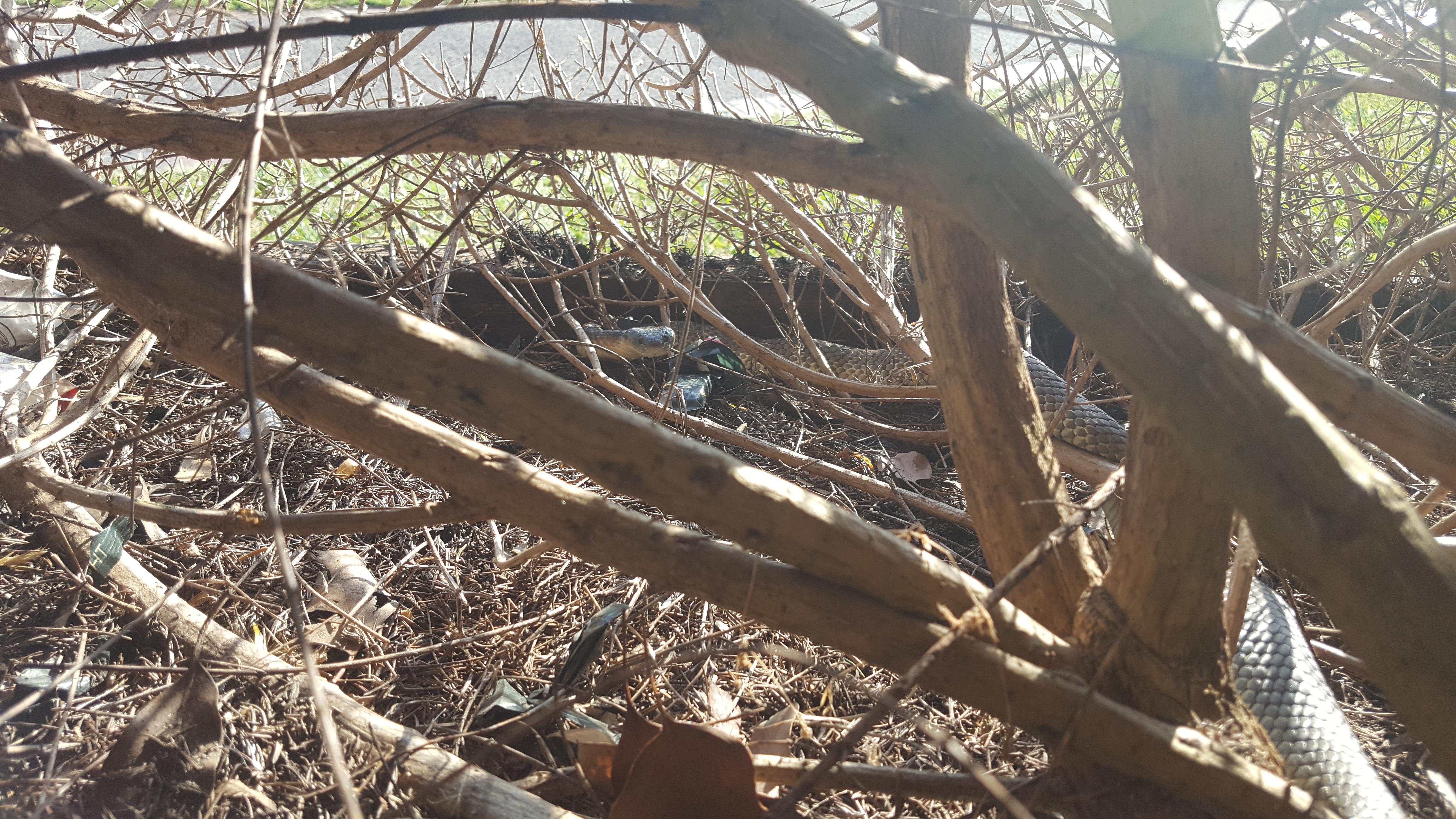 Eastern Tiger Snake Hiding in Bushes