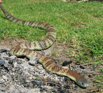 Eastern Tiger Snake (Notechis scutatus) - 5th Most Venomous Snake in the World.