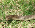 eastern brown snake catcher melbourne