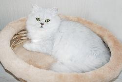 Купить песидского котенка