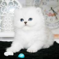 Персидский котенок из питомника Мон Ами