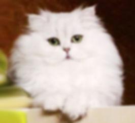 Питомник персидских кошек