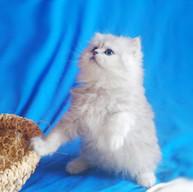 Персидские котята питомника Мон Ами