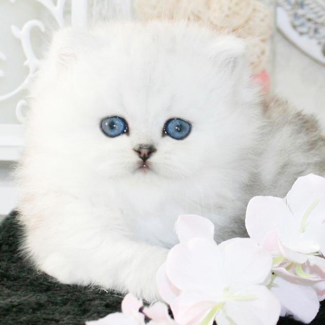 Питомник кошек Москва
