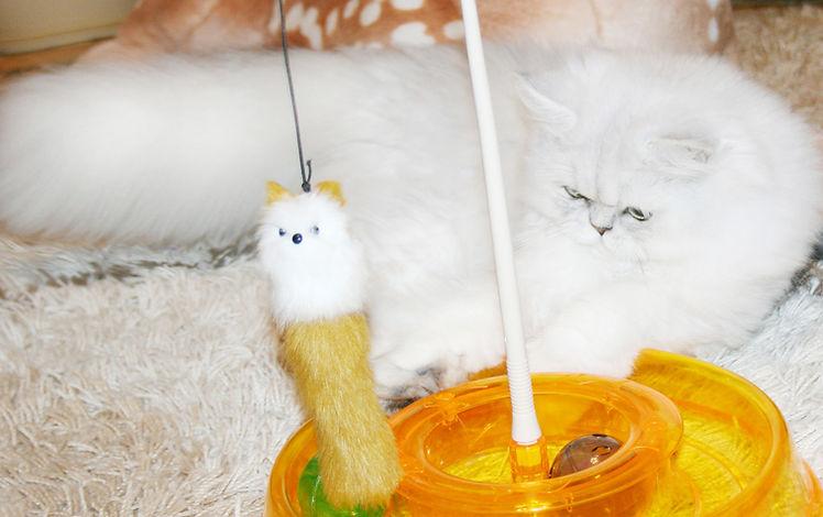 Купить персидского котенка окраса серебристая шиншилла