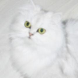 Персидский котенок купить