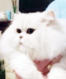 купить персидского котенка шиншиллового окраса