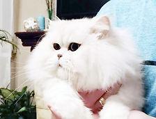 Персидские котята купить