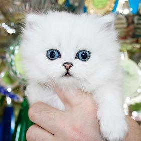 котенок персидской шиншиллы.jpg
