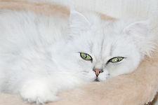 Купить персидского котенка