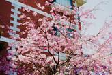 アガティス西草深と桜。