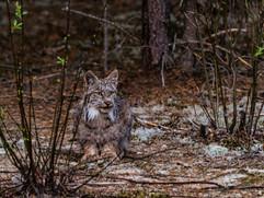 Lynx I