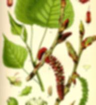 Illustration_Populus_nigra0.jpg