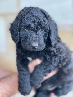 Black Bordoodle Puppy