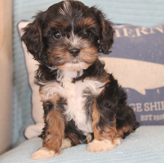 Dexter Black and Tan Adelaide Cavoodle Puppy