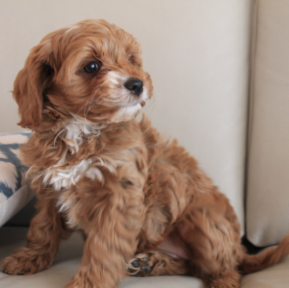 Summer Red Cavoodle Puppy Adelaide