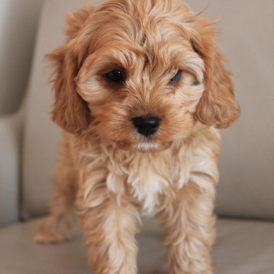 Suki Cavoodle Puppy Adelaide