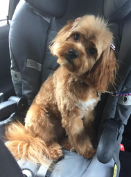 Red Cavoodle Adelaide Cavoodles South Australia Breeder