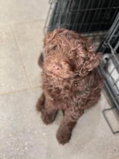 Chocolate Bordoodle Puppy