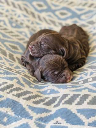 Chocolate First Generation Spoodle Puppies