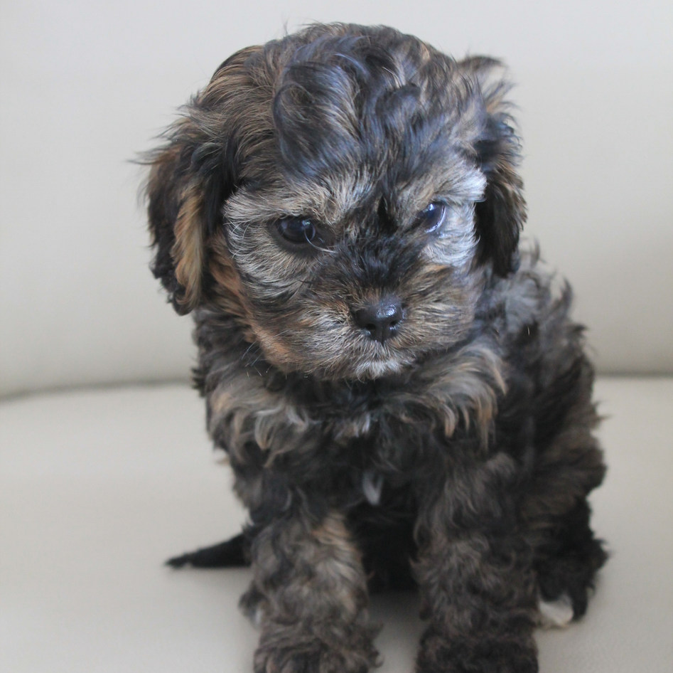 Winston Sable Adelaide Cavoodle Puppy