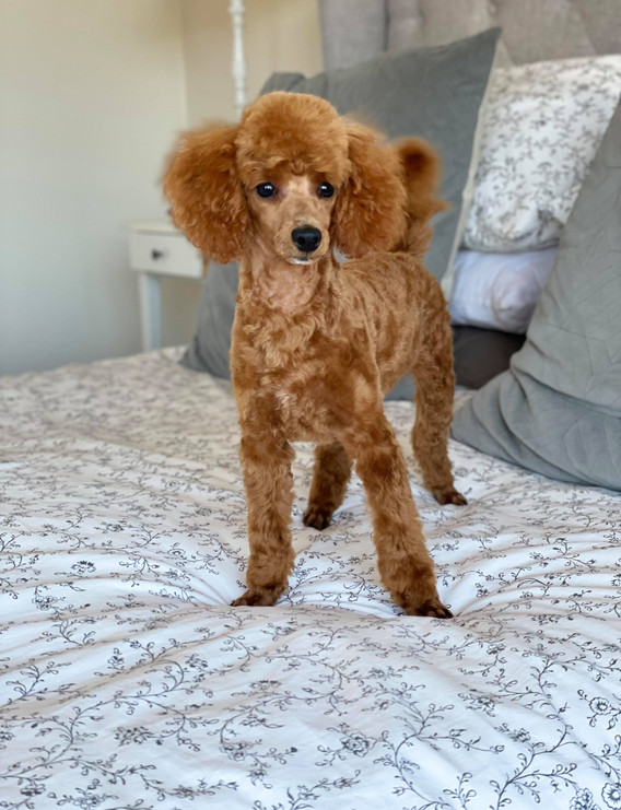 Lucien Ranger Red Toy Poodle Adeliade Cavoodles
