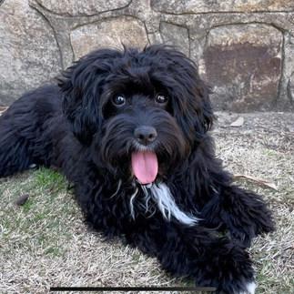 Kiera Adelaide Cavoodles Puppy