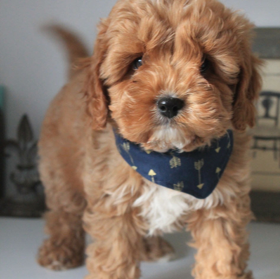 Hoops Red Cavoodle Puppy Adelaide