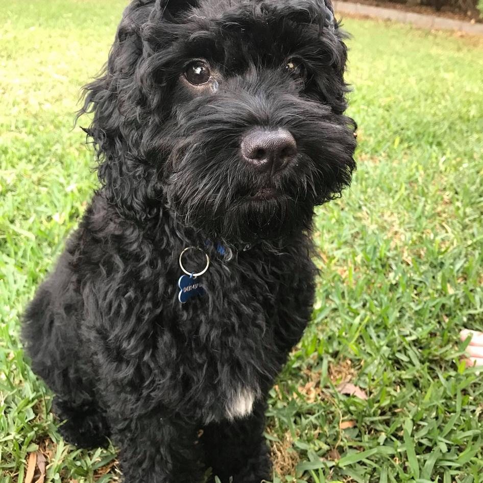Hugo Black Cavoodle Puppy Adelaide Cavoodles South Australia