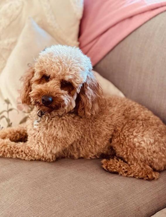 Barkley Mini Poodle Adelaide