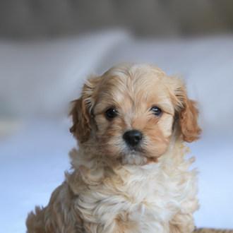 Bertie Puppy Adelaide Cavoodles