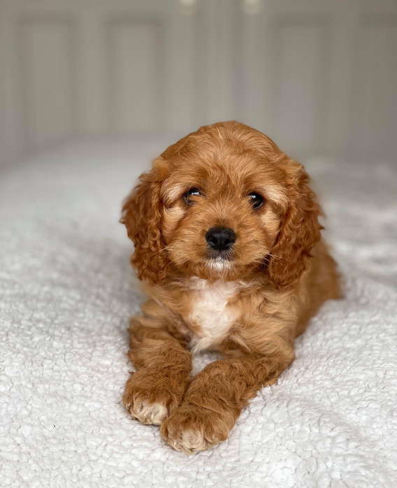 Peaches Spring Adelaide Cavoodles