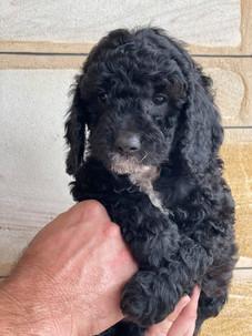 Black Spoodle Puppy