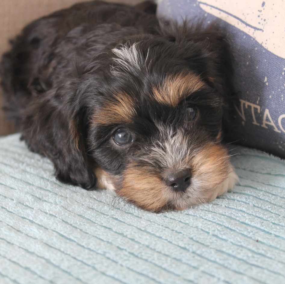 Louie Black and Tan Adelaide Cavoodle Puppy