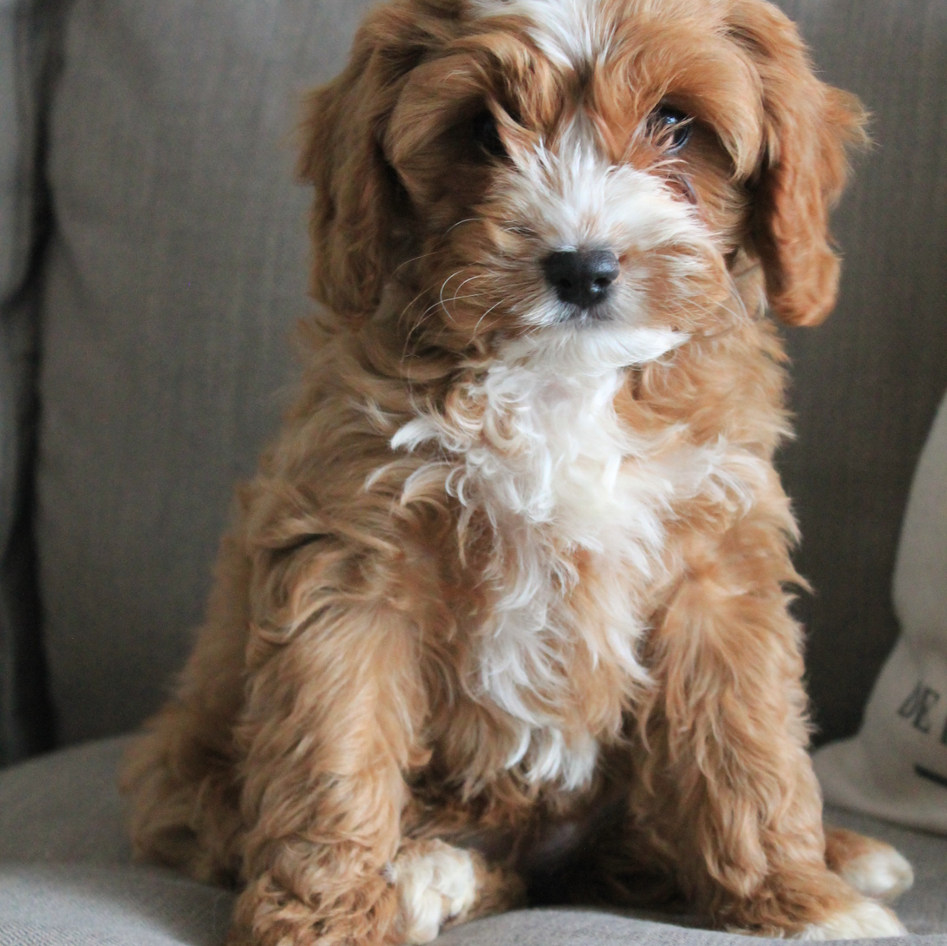 Hoku Red Cavoodle Puppy Adelaide