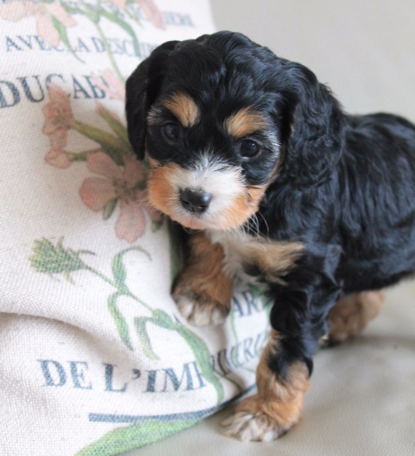 Frankie Black and Tan Adelaide Cavoodle Puppy