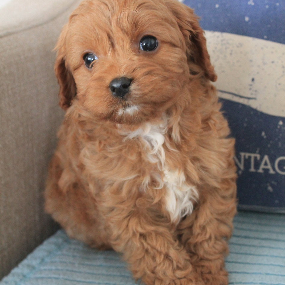 Archie Red Cavoodle Puppy Adelaide