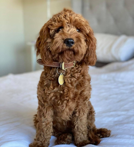 Candy Red F1 Cavoodle