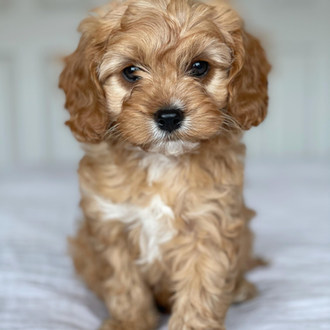 Bailey Adelaide Cavoodle Puppy