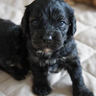 Arlo Black Cavoodle Puppy Adelaide Cavoodles South Australia