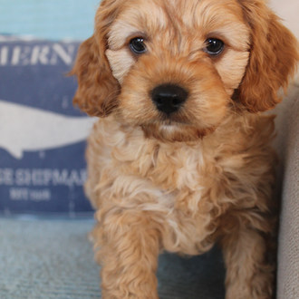 Teddy Cavoodle Puppy Adelaide