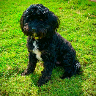 Scruffy Black Cavoodle Puppy Adelaide Cavoodles South Australia
