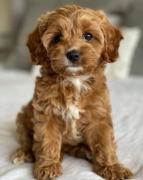 Red Cavoodle Puppy, Adelaide Cavoodles